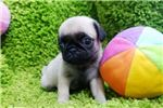 Picture of Micro Teacup Pug Puppies For Sale - Ziggy