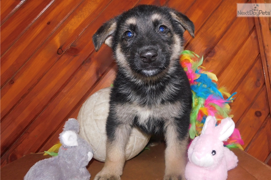 Robert German Shepherd Puppy For Sale Near Fort Wayne Indiana