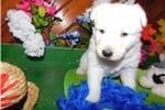 Picture of White German Shepherd Male - Baxter