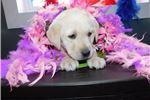 Picture of Yellow Lab Female- Kim