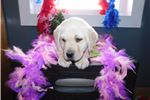 Picture of Yellow Lab Male- Baxter
