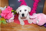 Picture of Yellow Lab Female- Emmie