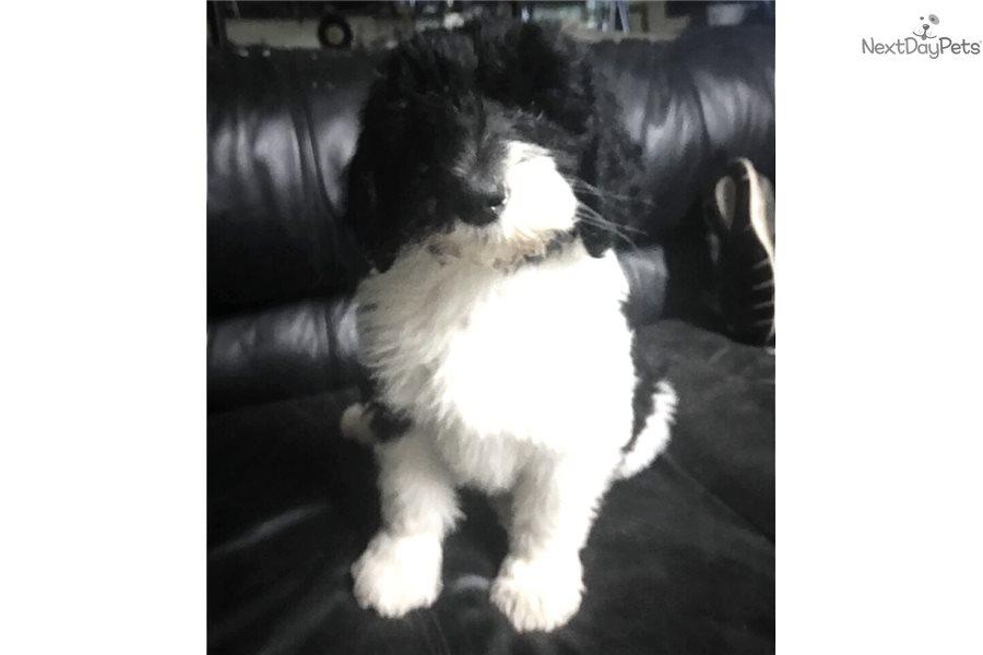 Reggie: Sheepadoodle puppy for sale near Springfield