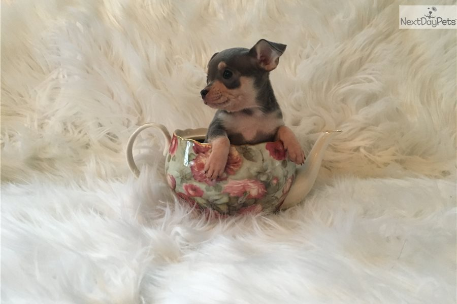 Dior: Chihuahua puppy for sale near Pittsburgh, Pennsylvania