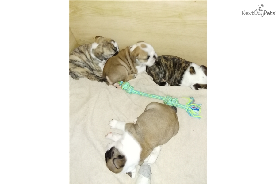 Images of boxer puppies for sale in michigan grand rapids