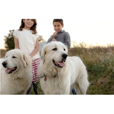 View full profile for Hadleigh Grange Great Pyrenees