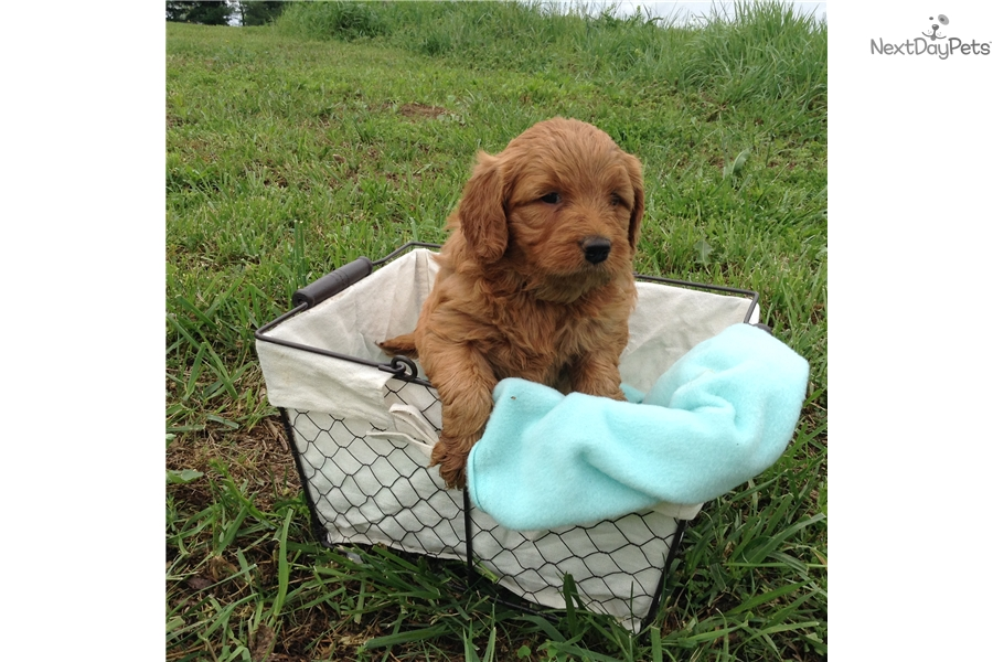Maddie Goldendoodle Puppy For Sale Near Evansville Indiana