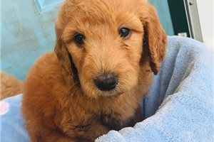 Goldendoodle Puppies For Sale From Tulsa Oklahoma Breeders