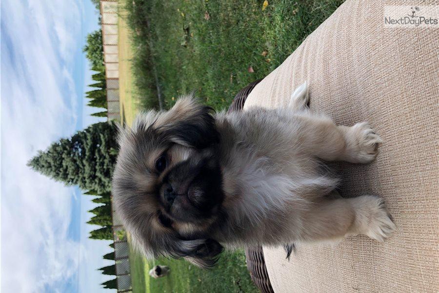 Nicky: Pekingese puppy for sale near me Indiana USA