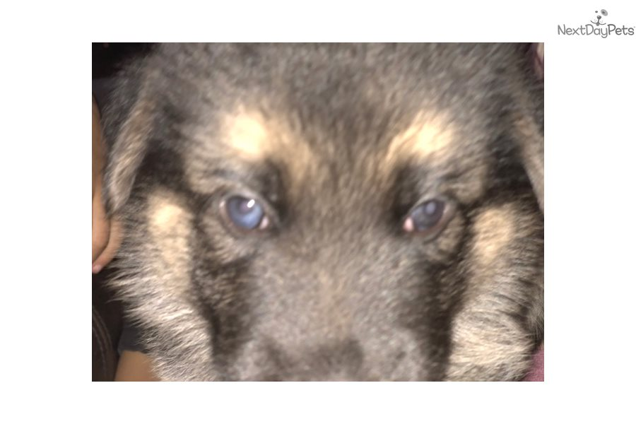 Wolf Hybrid puppy for sale near Bend, Oregon | c647bcea-3881