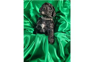 Buckey | Puppy at 5 weeks of age for sale