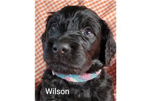 Wilson | Puppy at 5 weeks of age for sale