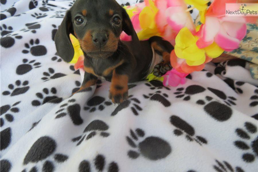 Dachshund, Mini puppy for sale near Mansfield, Ohio ...