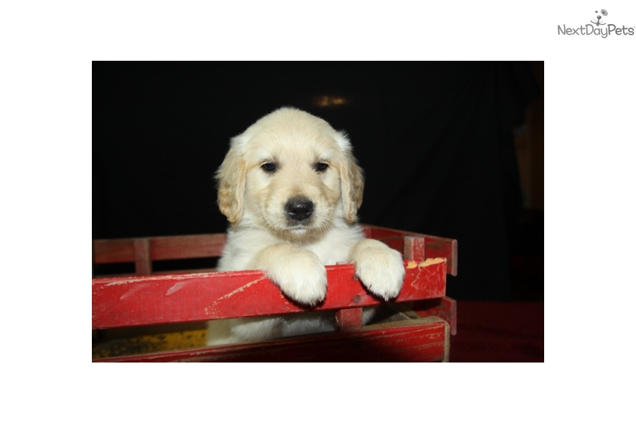 Barnes Red Golden Retriever Puppy For Sale Near Houston Texas