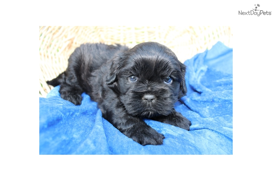 Sir Cavalier King Charles Spaniel Puppy For Sale Near Seattle