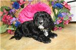 Picture of Black Cavachon Female Puppy Kira DOB_12_18_2017