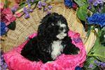 Picture of Black Cavachon Female Puppy Lada DOB_12_18_2017