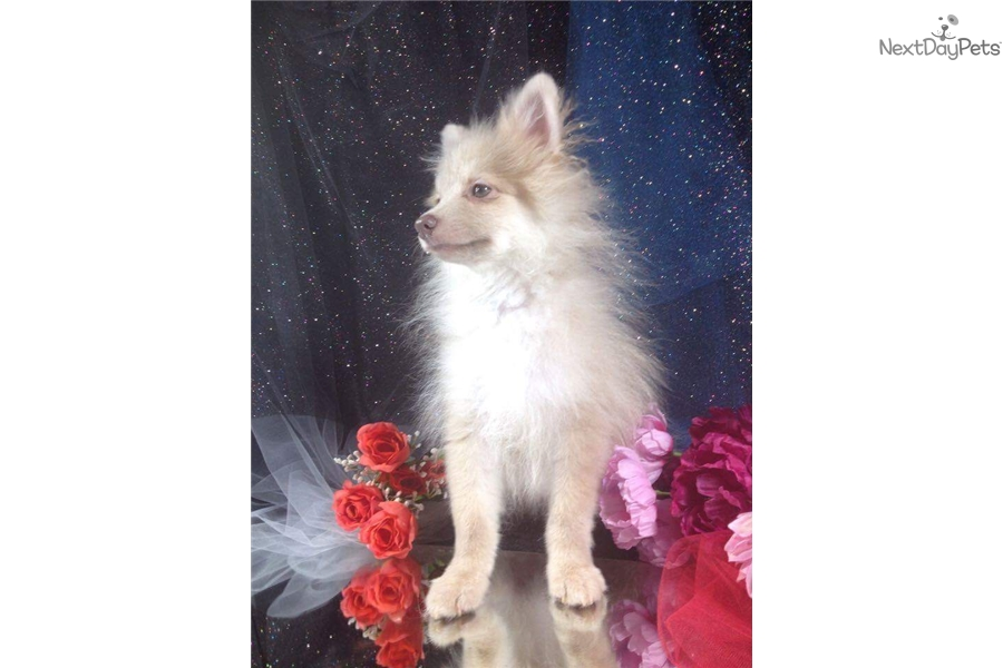 Poseidon Pomeranian Puppy For Sale Near Orlando Florida 48580280