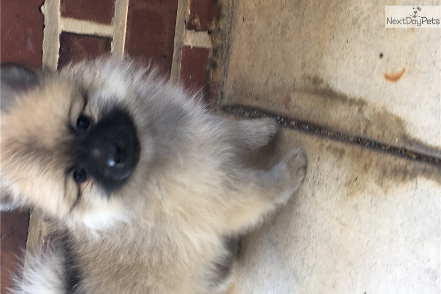 Calypso Pomeranian Puppy For Sale Near Orlando Florida 26ebc3be A1c1