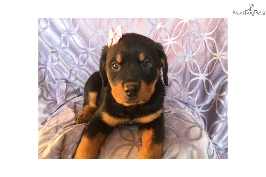 Ginger Rottweiler Puppy For Sale Near Lancaster Pennsylvania