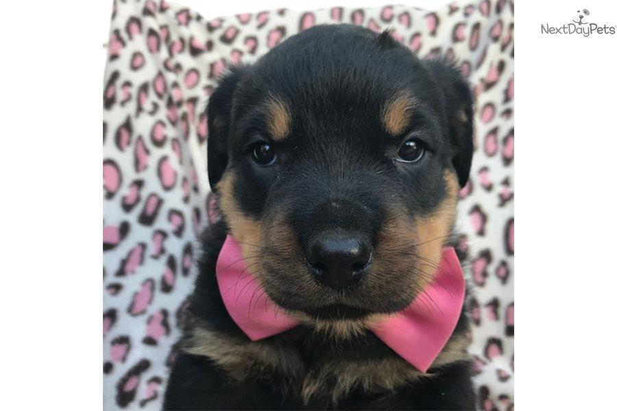Oaklyn: Rottweiler puppy for sale near Lancaster ...