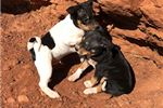 Picture of UKC Rat Terrier, standard sized