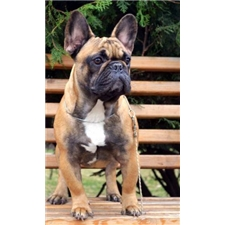 View full profile for Royal Line Frenchies
