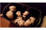 Featured Breeder of Olde English Sheepdogs with Puppies For Sale