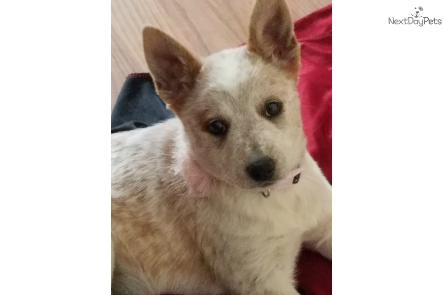 Princess Australian Cattle Dogblue Heeler Puppy For Sale Near