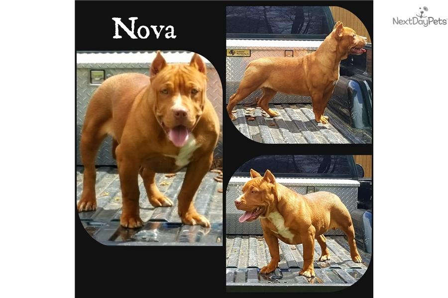 Nova: American Bully puppy for sale near Tulsa, Oklahoma