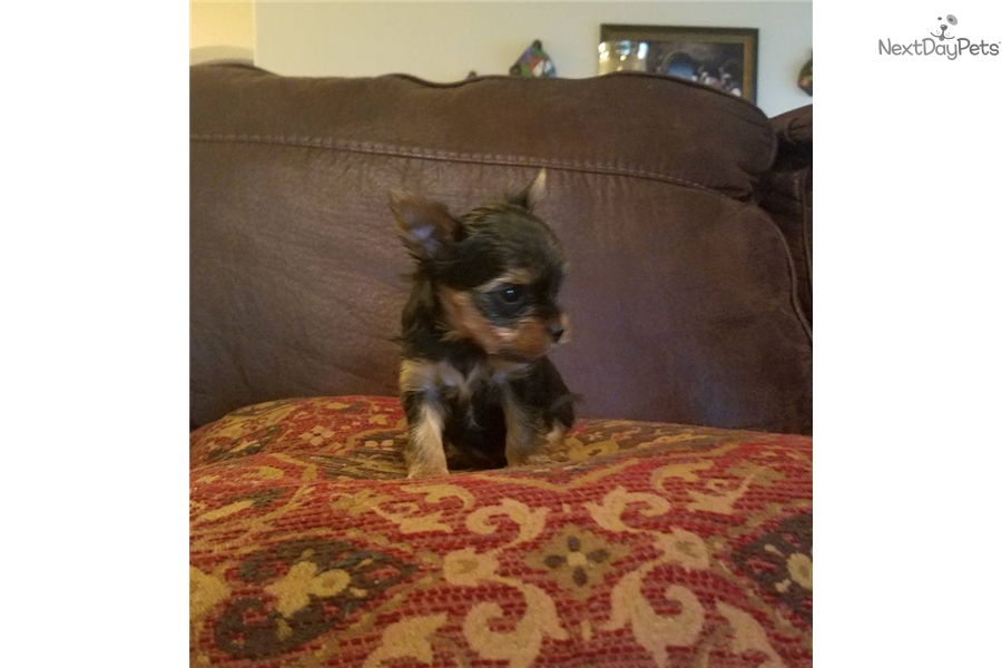 Willow Yorkshire Terrier Yorkie Puppy For Sale Near San Antonio