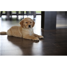 View full profile for Back's Golden Retrievers, Llc