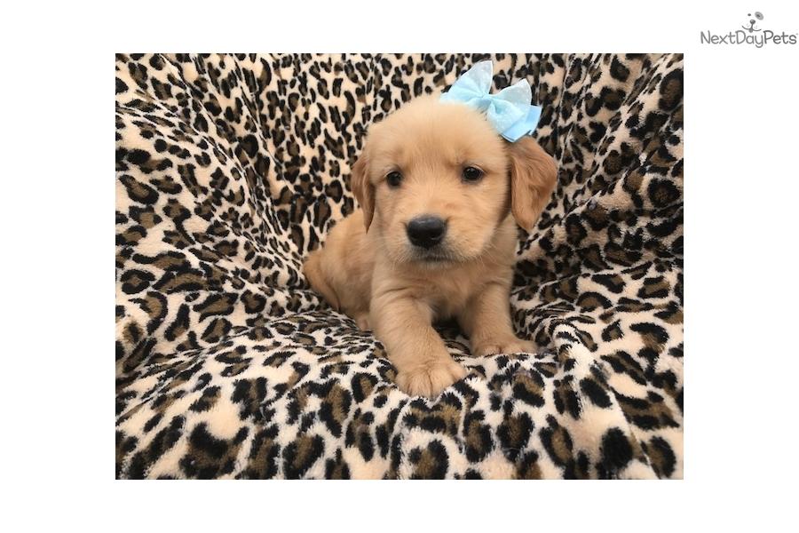 Venus Golden Retriever Puppy For Sale Near Lancaster Pennsylvania