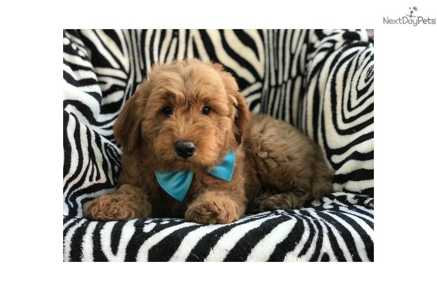 Alaska: Goldendoodle puppy for sale near Lancaster ...