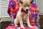Picture of Charlotte - 10 Week Old Female Pomsky