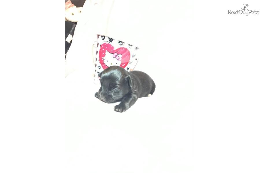 Miss Micro Minnie Yorkshire Terrier Yorkie Puppy For Sale Near