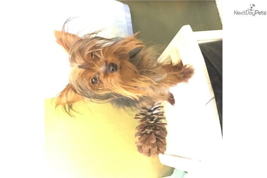 Yorkshire Terrier Yorkie Puppy For Sale Near New Haven