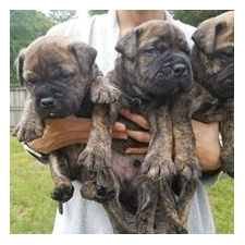 View full profile for Gallagher's Bullmastiffs