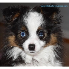 View full profile for Misty's Toy Aussies