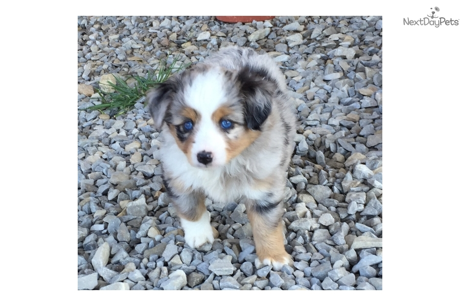 Puppies for Sale from Misty's Toy Aussies - Member since