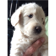 View full profile for Sustar Puppies