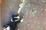 Picture of Cute CKC miniature bull terrier