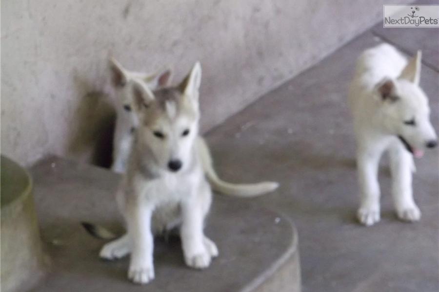 Cubby Wolf Hybrid Puppy For Sale Near San Antonio Texas 663ca642