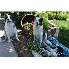View full profile for K&M Border Collies