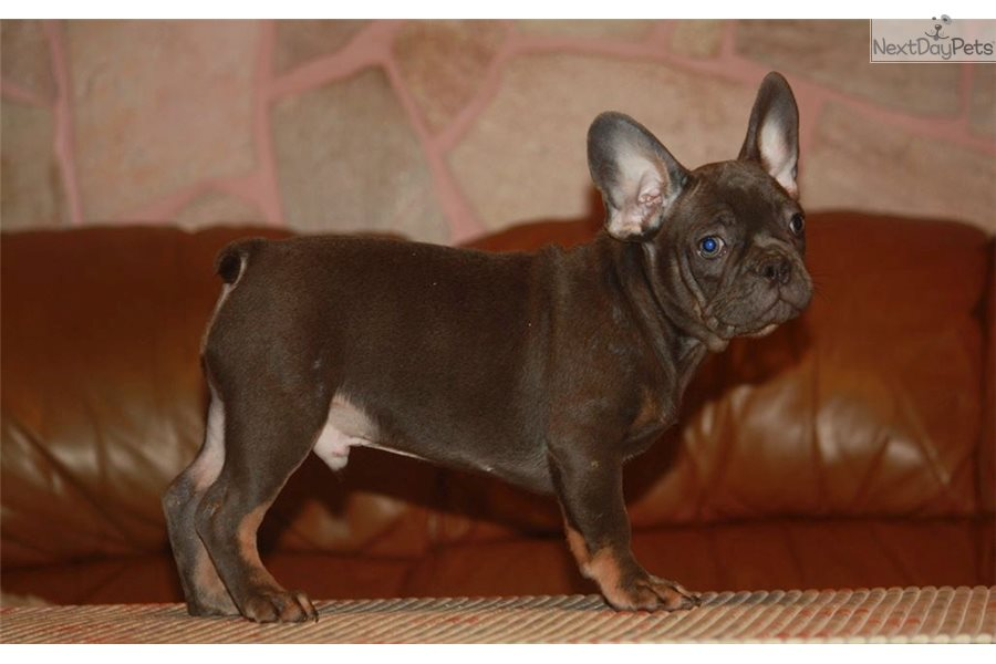 Prince French Bulldog Puppy For Sale Near Worcester Central Ma