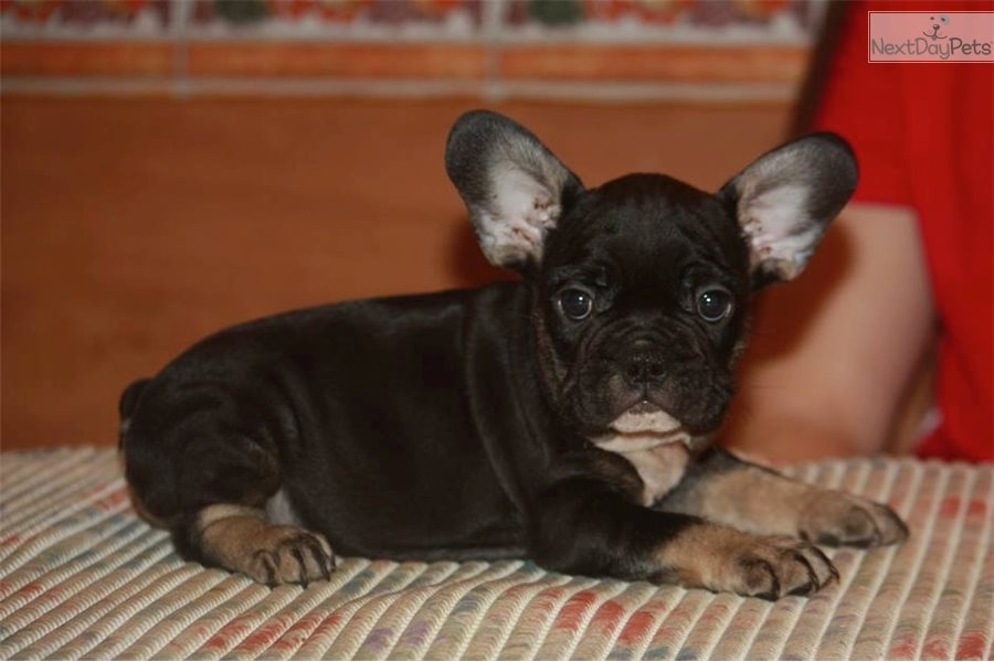 Black French Bulldog Puppy For Sale Near Worcester Central Ma