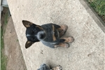 Queensland Heelers for sale