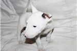 Picture of Miniature Bull Terrier - Bonnie