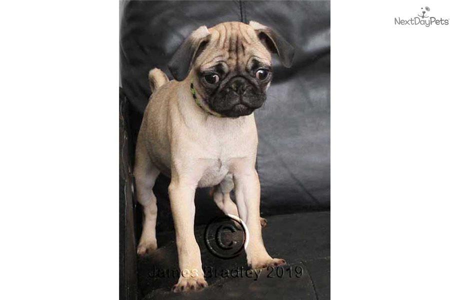 Kellyl: Pug puppy for sale near Portland, Oregon ...