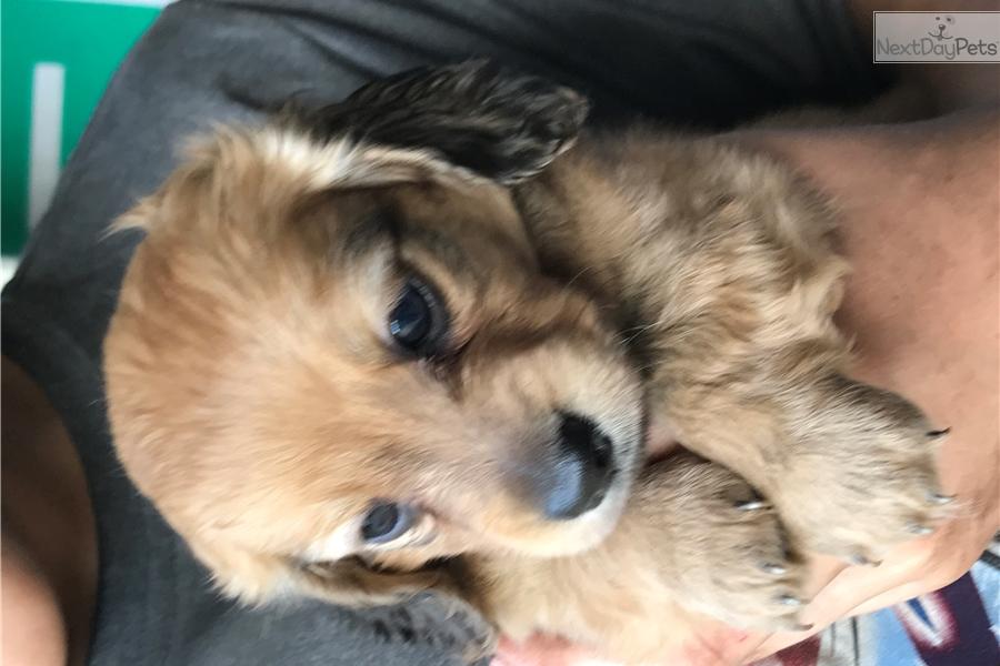 White Female Dachshund Puppy For Sale Near Houston Texas